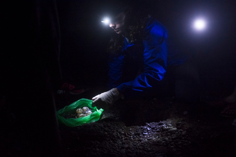 Blair collects turtle eggs from a nest so they can be relocated.